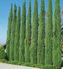 cupressus sempervirens italian cypress 1big jpg