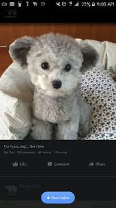 different toy poodle cuts silver toy poodle groomed in teddy bear cut pups pinterest