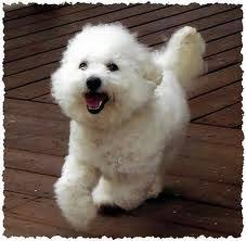 bichon frise fluffy 11 fluffy facts about the bichon frise bichon frise and bichons