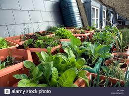 vegetables growing on urban rooftop london urban veggie garden
