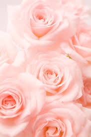 Pink Light 14 Rose Color Meanings What Do The Colors Of Roses Mean For