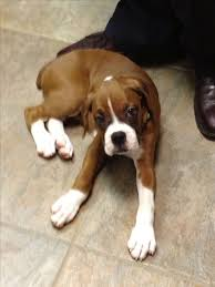 boxer 1075 best images about boxers on pinterest boxer puppies