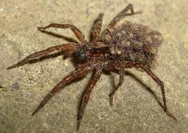 wolf spiders what you should know central illinois pest