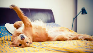 Dog Peed On Bed 10 Simple Ways To Dog Proof Your Furniture Puppy Leaks