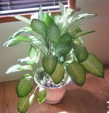 dumb highly toxic house plant indoor jungle house plants