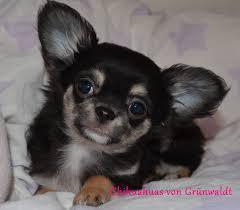 Tierheim Bad Salzuflen Hunde Chihuahua Welpen Günstig Kaufen Hunde Haustier Anzeiger