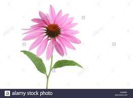 Echinacea Flower Echinacea Flower Cut Out On White Background Stock Photo Royalty