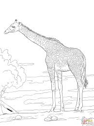 rhodesian giraffe coloring page free printable coloring pages