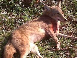 Delaware wildlife images Delaware coyotes archives hunting the first state jpg