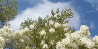 native plants sydney what is flowering right now plants that are good for native bees