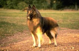 belgian sheepdog vs german shepherd belgian shepherd dog wallpapers hd download