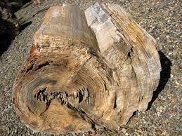 washington state gem petrified wood