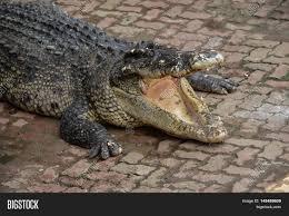 freshwater crocodile alligator image u0026 photo bigstock