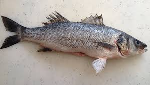 Seeking Branzino Song Gourmet