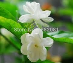 Fragrant Jasmine Plant - 100 genuine high quality jasmine flower seeds 100 seed packets