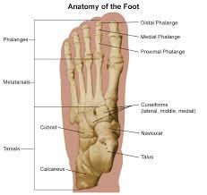 Foot Ligament Anatomy Anatomy Archive Comprehensive Orthopaedics