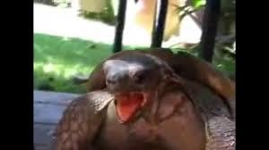 Turtle Memes - turtle meme youtube