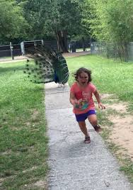 Meme Running Girl - little girl terrified of a peacock is the hot new meme the blemish