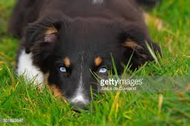 australian shepherd tri black tri australian shepherd puppy with blue eyes stock photo