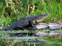 Alligators In Georgia Map 6 Of The Best Places To Spot Alligators Near Orlando