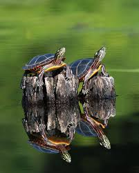 determining the of a painted turtle naturally curious with