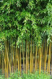 download plants bamboo solidaria garden