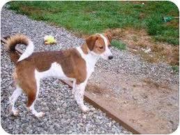 australian shepherd weiner dog mix puppy 2 adopted dog irvington ky jack russell terrier