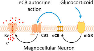 nongenomic glucocorticoid suppression of a postsynaptic potassium