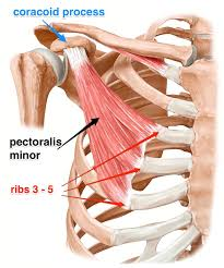 Human Anatomy Muscle Best 25 Shoulder Muscle Anatomy Ideas On Pinterest Anatomy