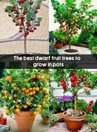 how to grow an apple tree in a pot growing apple trees apple