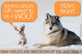 remarkably interesting facts about wolves you u0027d love to know