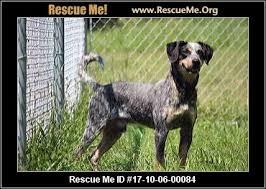 bluetick coonhound cost virginia bluetick coonhound rescue u2015 adoptions u2015 rescueme org