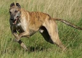 belgian shepherd 101 greyhound dog all big dog breeds