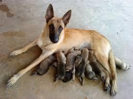 chow chow x belgian malinois belgian shepherd malinois puppies sold 5 years 4 months belgian