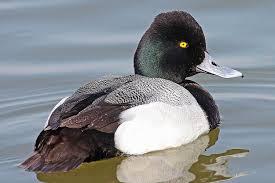 tufted duck aythya fuligula