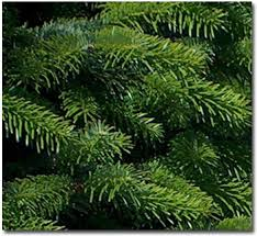 nordmann fir trees
