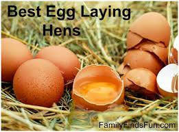 best egg laying hens family finds fun