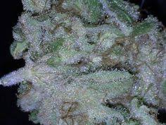 wedding cake kush cali gold jah og kush x ds gold indica dominant hybrid buds are