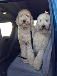 haircutsfordogs poodlemix standard poodles with simple cuts i like them better this way