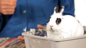 how to determine a rabbit u0027s age pet rabbits youtube