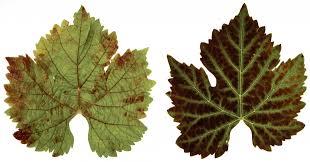 Symptoms Of Viral Diseases In Plants - new grape virus in washington good fruit grower