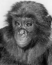 bentley orangutan animals san diego zoo 100
