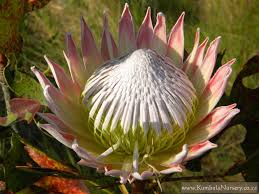 Protea Flower Protea Cynaroides Kumbula Indigenous Nursery