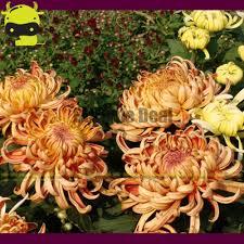 rare u0027king crown u0027 chrysanthemum flower bonsai seeds 100 seeds