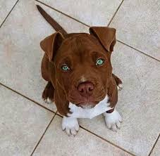 american pitbull terrier puppies for adoption best 25 cute pitbulls ideas on pinterest cute pitbull puppies