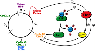 tbx5 is required for embryonic cardiac cell cycle progression