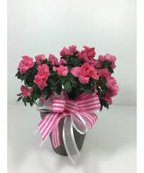 flower delivery kansas city azalea plant kansas city florist flower delivery kansas city