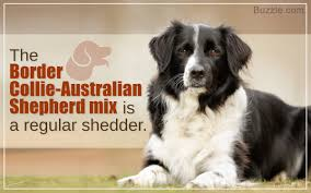 australian shepherd kid friendly characteristics of the australian shepherd border collie mix