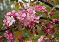 flowering trees and shrubs cornell botanic gardens