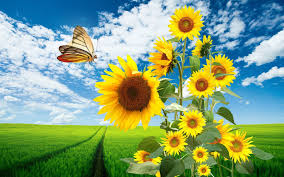 sunflowers and butterfly hd wallpaper and background image